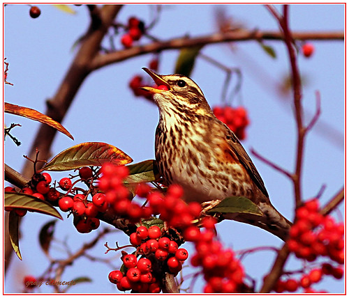 redwing (turdus iliacus)  amongst berries by gray.clements