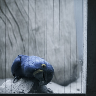 hyacinth macaw works hard to escape