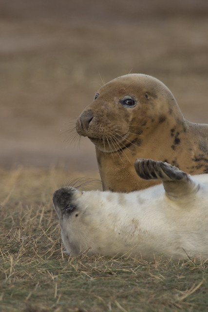 play fight mum seal and pup 5