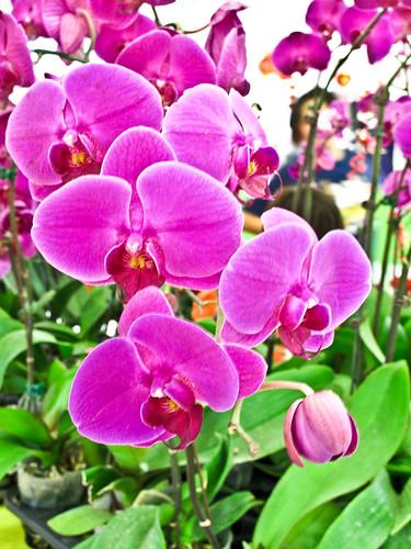 IMG_1469 Phalaenopsis orchids - pink 粉红胡姬花