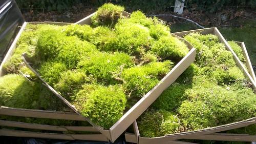 Premium Oregon Modd Moss