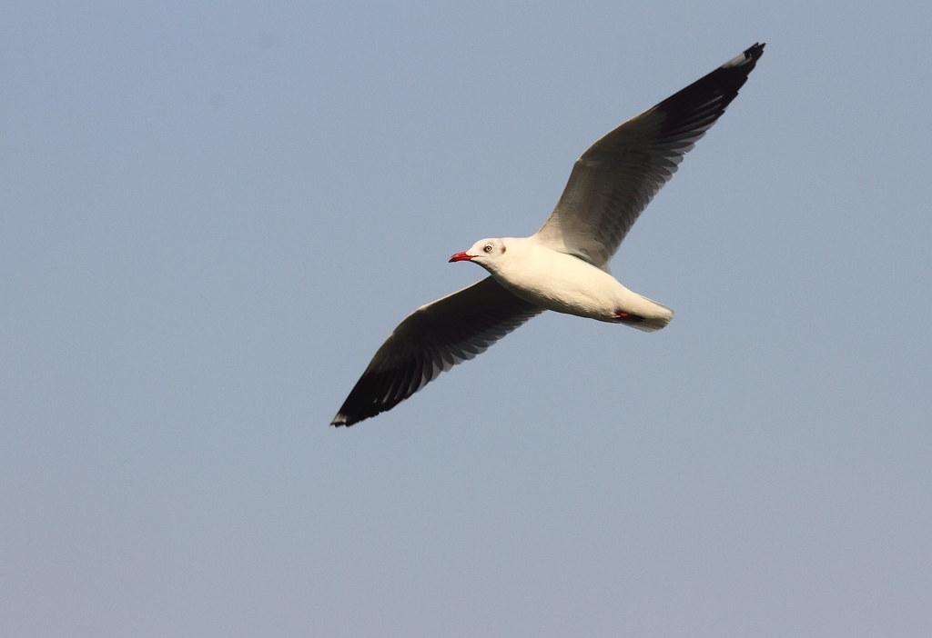 Brown Headed Gull flight
