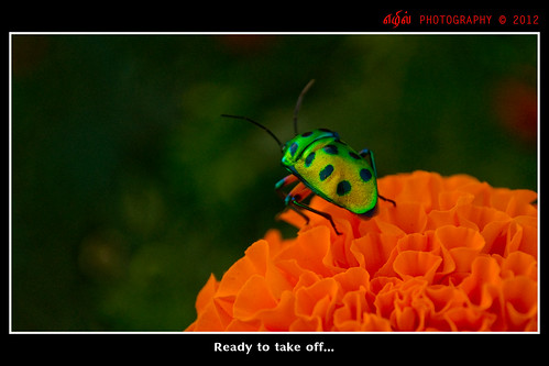 jaikris75 coimbatore sathyamangalam tamilnadu india orange green bug flower