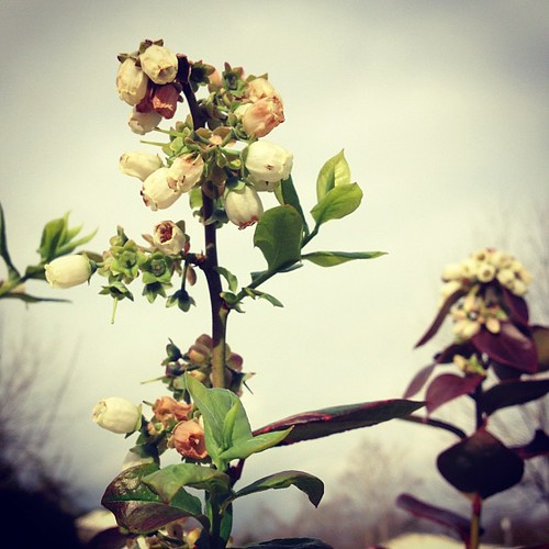 Day 35: Too soon in bloom...poor blueberries