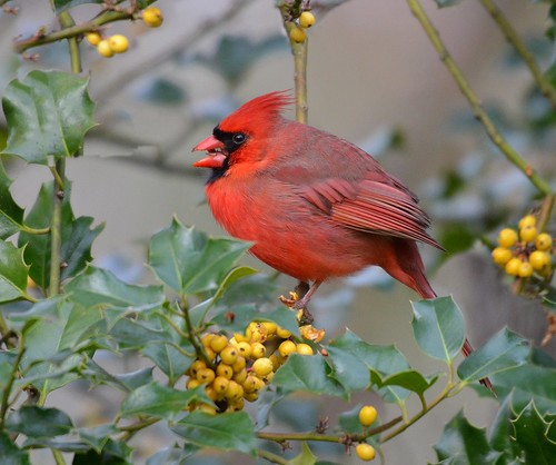 Cardinal in the Holly Bush.  Photo © Flickr User: KoolPix.