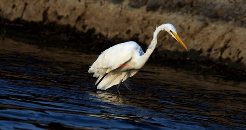 Great Egret 大白鷺鷥(TW057)6Z2K2395-1