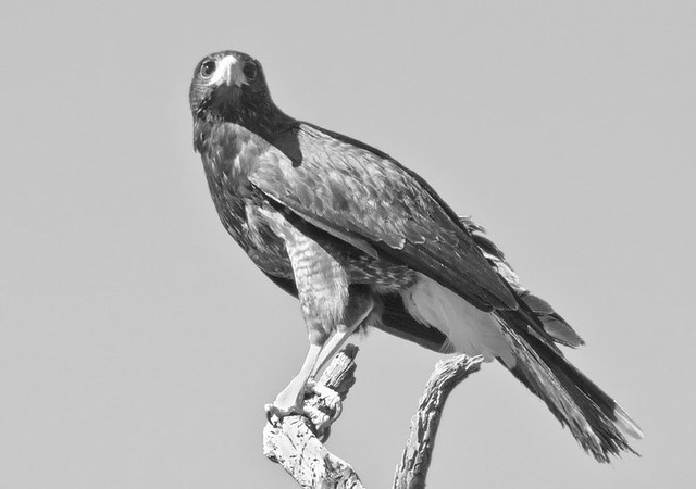 Black and White Harris Hawk 2