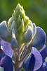 Bluebonnet Closeup