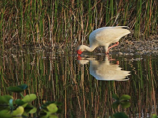 White Ibis 20140411