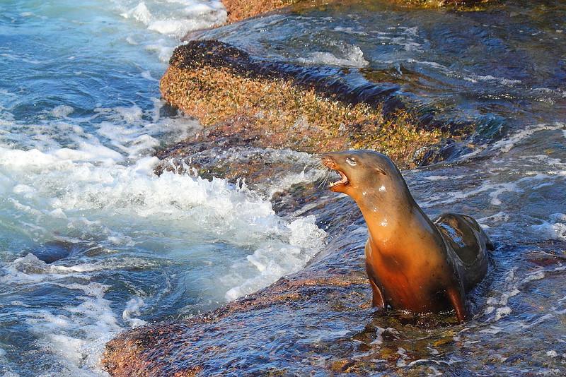 IMG_0525 California Sea Lion at La Jolla Cove, CA