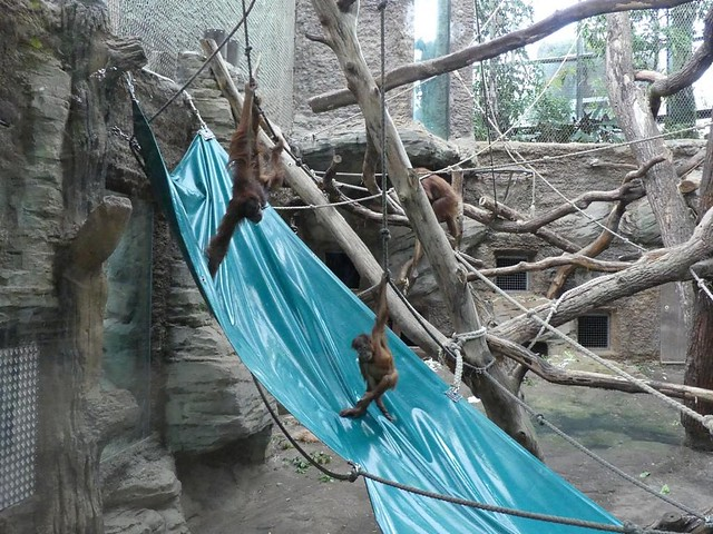 Orang-Utans, Zoo Frankfurt