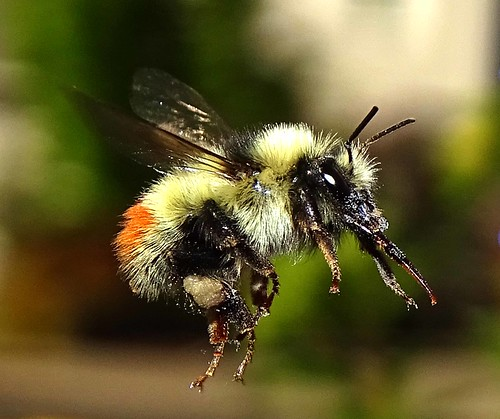 May3,2016_051_Small_Bumble_Bee_in_flight____Moscow,_Idaho