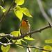 Blackburnian Warbler in the Treetops