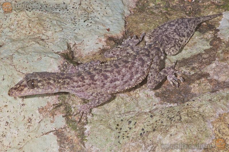 Mount Jukes leaf-tailed gecko (Phyllurus isis)