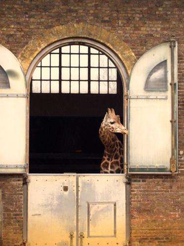 una jirafa asoma a ver qué tal hace fuera
