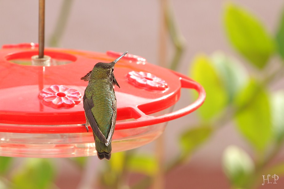 Anna's Hummingbird 112911-3