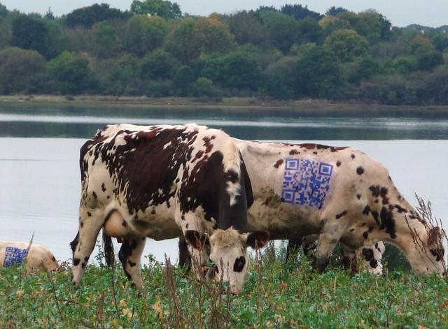 qr cows qrcode cows vaches morbihan bretagne golfe