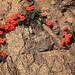 Anagallis monellii ssp collina (Colin W Hughes)