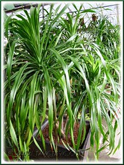An ornamental foliage plant with slender and longish leaves