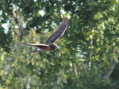 Northern Harrier 20111204