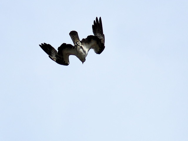 Osprey diving 20111204