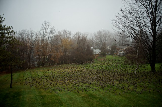 A Murmuration in the Backyard