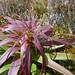 Richea alpina (iii) by Nuytsia@Tas