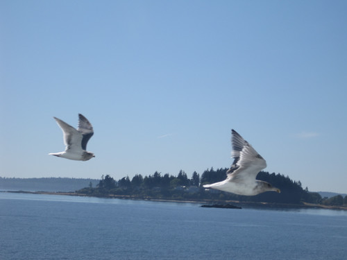 Seaguls flying along beside the ferry