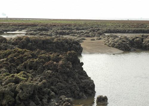 藻礁內部孔隙多,可棲藏多種生物,在藻礁四周的水域,也是海洋生物生息繁衍的重要棲地。(圖片來源:劉靜榆)