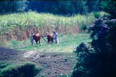 C125_Egypt_1983 Farming near Kom Ombo (405 of 560)