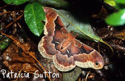 Promethea Moth-w-sig