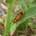 Small photo of Rhagonycha fulva. Cantharidae