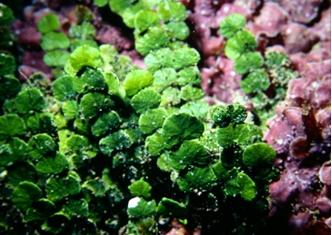 具有鈣質的綠藻—仙掌藻(張睿昇攝)