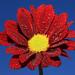 Tears of flower by Marcello Bardi