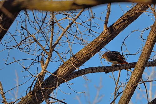 Red-tailed Hawk DSC_1830
