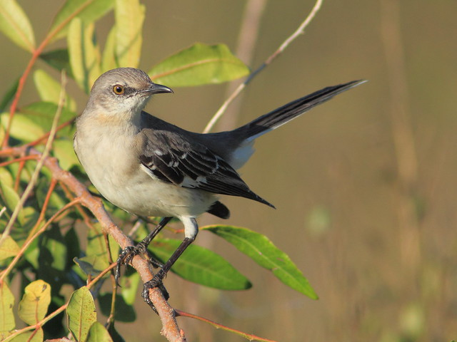 Northern Mockingbird 2-20120101