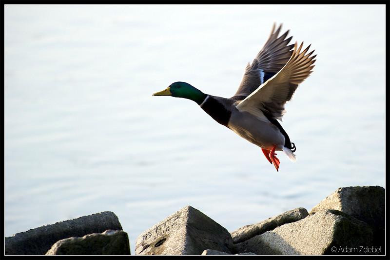 Duck - in flight
