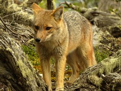animal, red wolf, mammal, jackal, grey fox, fauna, red fox, dhole, wildlife,