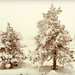 Christmas trees in sepia