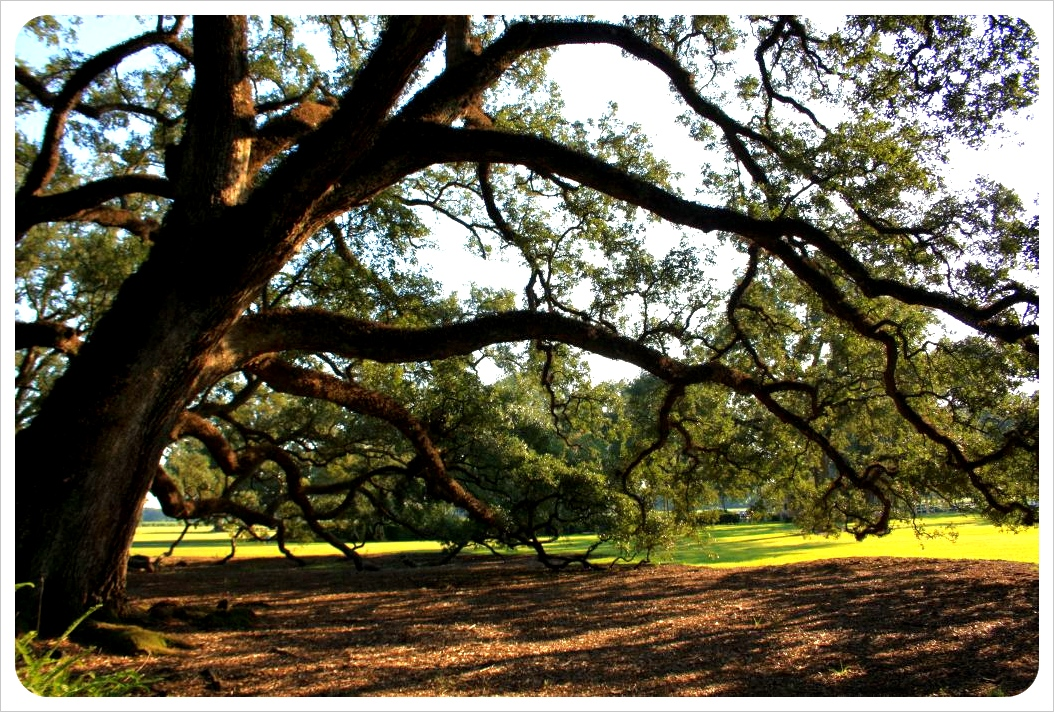 old oak tree at oak alley plantation