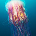 Gorgeous Underwater Photos of Vibrant Jellyfish
