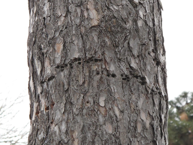Find the tell-tale holes bored by woodpeckers looking for insects in the bark of an Austrian pine tree. Photo by Ashley Gamell.