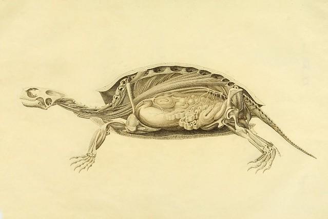 Anatome testudinis Europaeae b