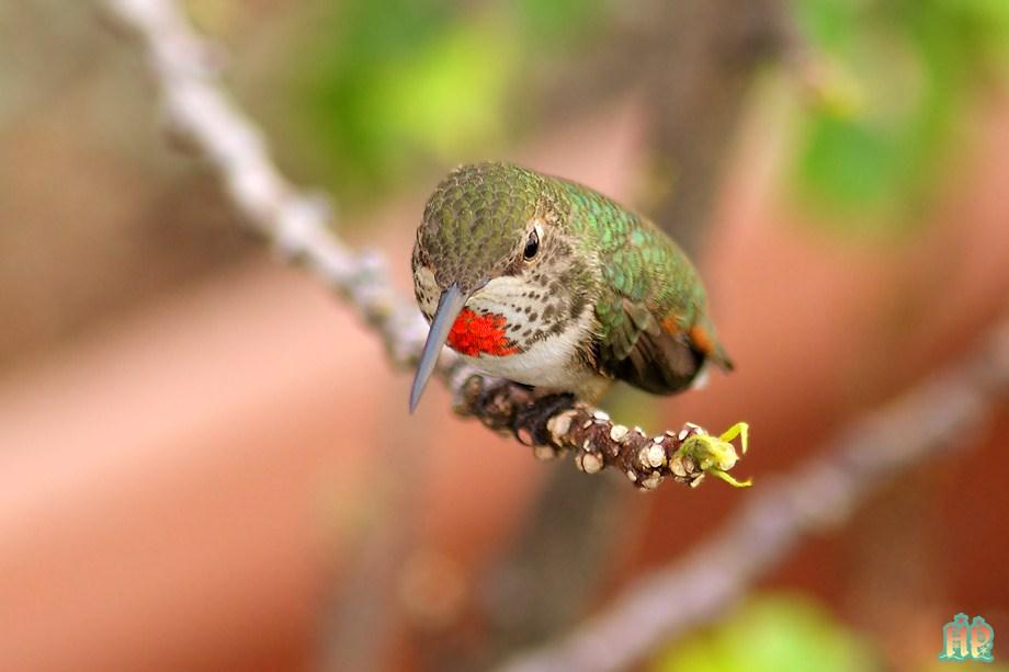 Allen's Hummingbird012712