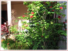 Focus on potted Calliandra emarginata bush