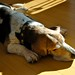 D is for dog - sunbathing by moline