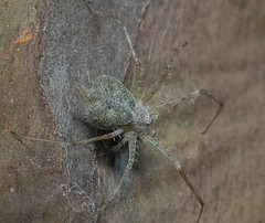 Two tailed spider