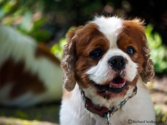dog breed, animal, puppy, dog, pet, mammal, king charles spaniel, spaniel, cavalier king charles spaniel,