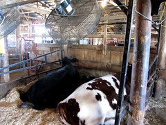 cattle-like mammal, dairy, stall, dairy cow, cattle, animal shelter,