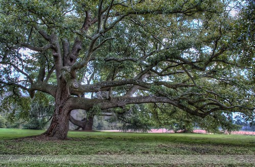 Redcliffe Plantation Tree